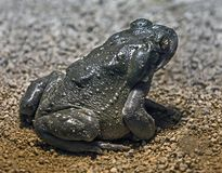 Colorado river toad 10. Colorado river toad also known as sonoran desert toad. Latin name - Bufo alvarius Royalty Free Stock Photos