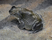 Colorado river toad 7. Colorado river toad also known as sonoran desert toad. Latin name - Bufo alvarius Stock Photography