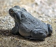 Colorado river toad 9. Colorado river toad also known as sonoran desert toad. Latin name - Bufo alvarius stock photo