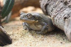 Colorado River Toad  Bufo alvarius. The Colorado River toad Incilius alvarius, also known as the Sonoran Desert toad, is found in northern Mexico and the Royalty Free Stock Images