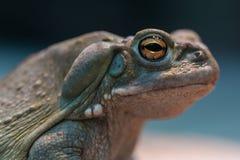 Colorado river toad (Bufo alvarius) stock photos