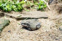 Colorado River Toad. A Colorado river toad (bufo alvarius) on a sand floor in its habitat Stock Images