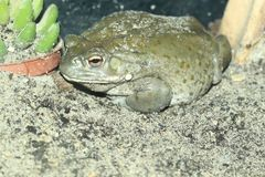 Colorado river toad. In the sand royalty free stock photo