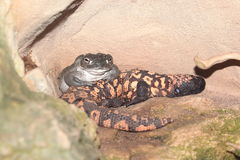 Colorado river toad and gila monster. On the rock Royalty Free Stock Photography