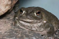 Colorado River toad. Incilius alvarius, also known as the Sonoran Desert toad stock image
