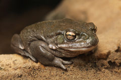 Colorado river toad (Incilius alvarius). Royalty Free Stock Photography