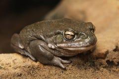 Colorado river toad (Incilius alvarius). Royalty Free Stock Photography