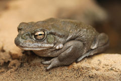 Colorado river toad (Incilius alvarius). Colorado river toad (Incilius alvarius), also known as the Sonoran desert toad. Wild life animal stock photo