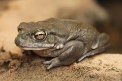 Colorado river toad (Incilius alvarius). Stock Photo