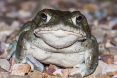 The Colorado River toad Incilius alvarius, the Sonoran Desert toad, is a psychoactive toad found in northern Mexico. Colorado River toad Incilius alvarius, the royalty free stock photos