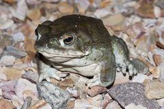 The Colorado River toad Incilius alvarius, the Sonoran Desert toad, is a psychoactive toad found in northern Mexico. Colorado River toad Incilius alvarius, the Stock Photos