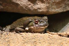 Colorado River toad Incilius Bufo alvarius Stock Photo