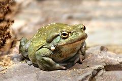 Colorado River toad Incilius Bufo alvarius. On rock stock photo