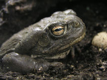 Colorado River Toad Micro. Closeup of a grimy Colorado River Toad lurching in the mud at Reptile Gardens in Rapid City, South Dakota stock photos