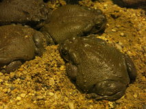 Colorado river toads stock photos
