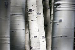 Colorado Rocky Mountain Aspen Trees Appear som ska has Royaltyfria Bilder