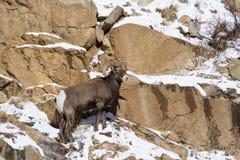 Colorado Rocky Mountain Bighorn Sheep Immagini Stock