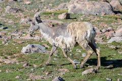 Colorado Rocky Mountain Bighorn Sheep Fotografia Stock Libera da Diritti