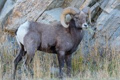 Colorado Rocky Mountain Bighorn Sheep Stock Foto's