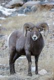 Colorado Rocky Mountain Bighorn Sheep Stock Foto
