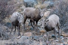Colorado Rocky Mountain Bighorn Sheep Immagine Stock
