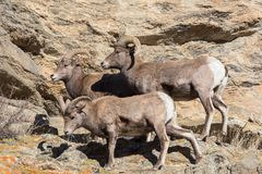 Colorado Rocky Mountain Bighorn Sheep Imagenes de archivo
