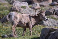 Colorado Rocky Mountain Bighorn Sheep Fotografia Stock