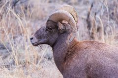 Colorado Rocky Mountain Bighorn Sheep arkivfoton