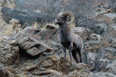 Colorado Rocky Mountain Bighorn Sheep Fotos de archivo