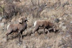 Colorado Rocky Mountain Bighorn Sheep Immagine Stock