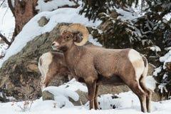 Colorado Rocky Mountain Bighorn Sheep imagenes de archivo