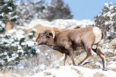 Colorado Rocky Mountain Bighorn Sheep foto de archivo libre de regalías