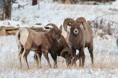 Colorado Rocky Mountain Bighorn Sheep imagen de archivo