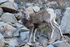 Colorado Rocky Mountain Bighorn Sheep. Bighorn sheep are wild animals in the Rocky Mountains of Colorado Stock Image