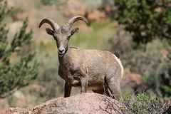 Colorado Rocky Mountain Bighorn Sheep. Bighorn sheep are wild animals in the Rocky Mountains of Colorado Royalty Free Stock Photo