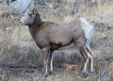 Colorado Rocky Mountain Bighorn Sheep - Colorado Rocky Mountain. Bighorn sheep are wild animals in the Rocky Mountains of Colorado Stock Image