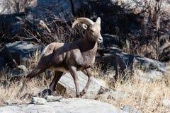 Colorado Rocky Mountain Bighorn Sheep Stock Photo