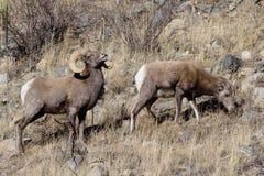 Colorado Rocky Mountain Bighorn Sheep Royalty Free Stock Image