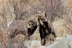 Colorado Rocky Mountain Bighorn Sheep. Bighorn sheep are wild animals in the Rocky Mountains of Colorado Stock Photo