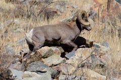 Colorado Rocky Mountain Bighorn Sheep Royalty Free Stock Photos