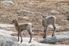 Colorado Rocky Mountain Bighorn Sheep. Bighorn sheep are wild animals in the Rocky Mountains of Colorado Stock Photos