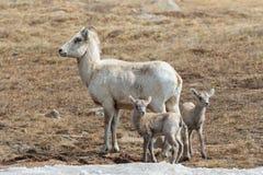 Colorado Rocky Mountain Bighorn Sheep Royalty Free Stock Photo