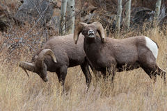 Colorado Rocky Mountain Bighorn Sheep. Bighorn sheep are wild animals in the Rocky Mountains of Colorado Stock Image