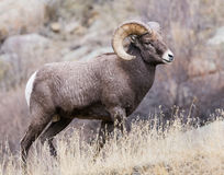 Colorado Rocky Mountain Bighorn Sheep. Bighorn sheep are wild animals in the Rocky Mountains of Colorado Royalty Free Stock Image