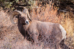Colorado Rocky Mountain Bighorn Sheep. Bighorn sheep are wild animals in the Rocky Mountains of Colorado stock images