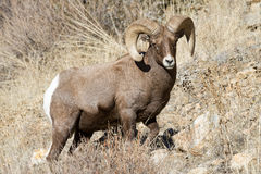 Colorado Rocky Mountain Bighorn Sheep. Bighorn sheep are wild animals in the Rocky Mountains of Colorado royalty free stock photo
