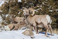 Colorado Rocky Mountain Bighorn Sheep. Bighorn sheep are wild animals in the Rocky Mountains of Colorado Stock Photo