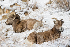 Colorado Rocky Mountain Bighorn Sheep. Bighorn sheep are wild animals in the Rocky Mountains of Colorado stock photography