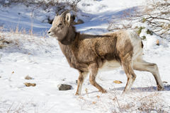 Colorado Rocky Mountain Bighorn Sheep. Bighorn sheep are wild animals in the Rocky Mountains of Colorado royalty free stock images