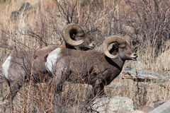 Colorado Rocky Mountain Bighorn Sheep. Bighorn sheep are wild animals in the Rocky Mountains of Colorado royalty free stock photos
